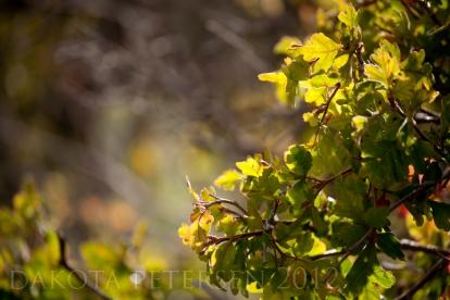 Red Mountain Oak