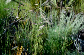 Feathered Grass
