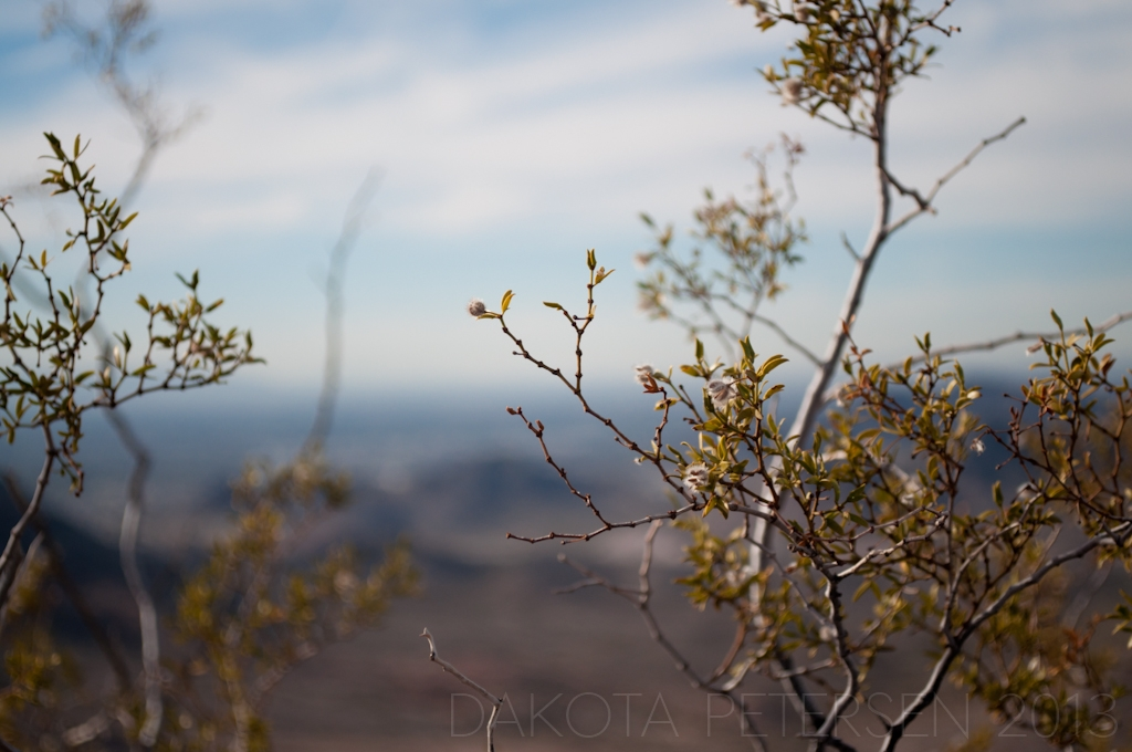Mountain Creosote