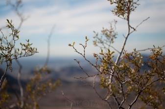 Mountain Creosote