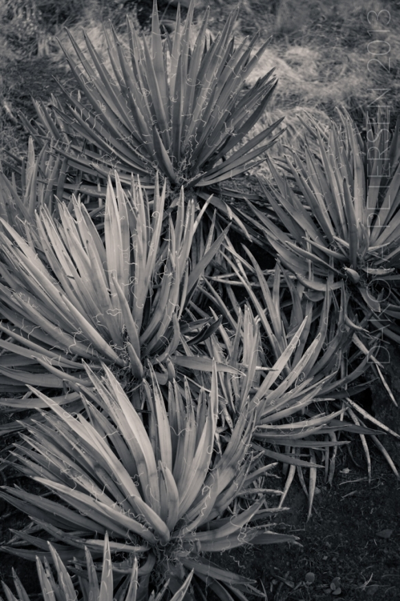 Agave Patch