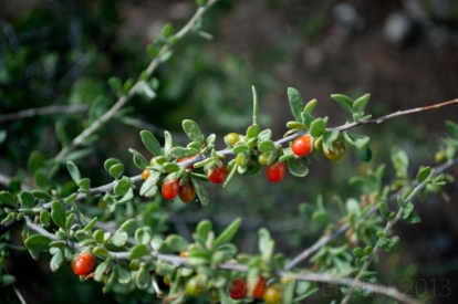 Desert Fruit