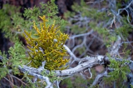 Branching Parasite