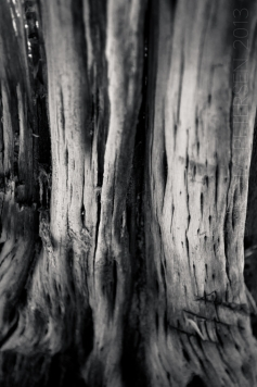 Ancient Roots Mono